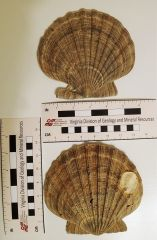 Chesapecten nefrens.1