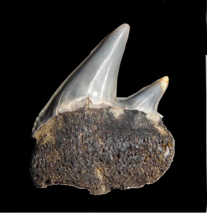 Pleistocene and Miocene fossils