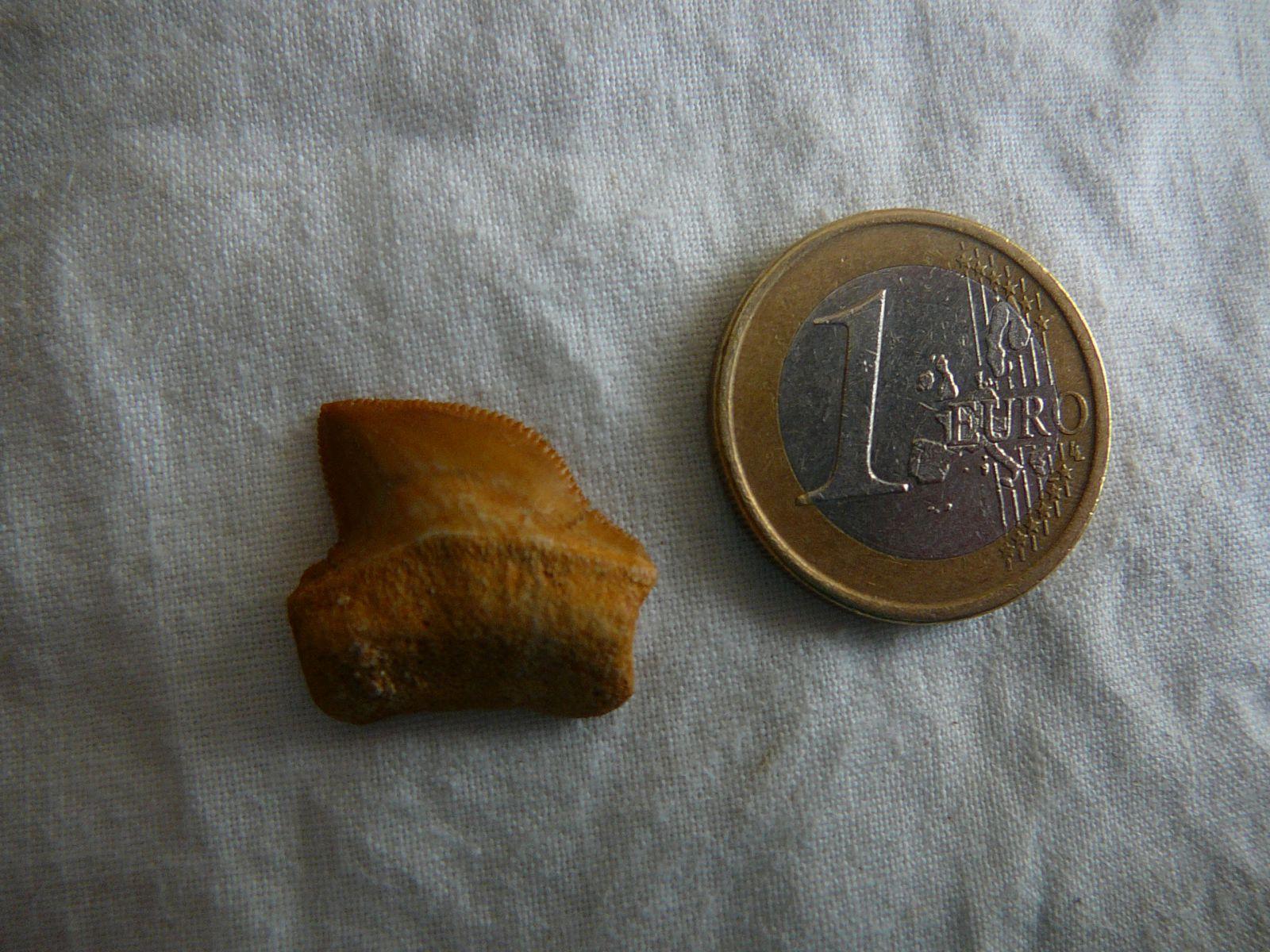 Squalicorax Bassanii