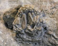 Goniopygus budaensis with spines oral view