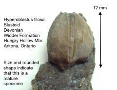 Hyperoblastus