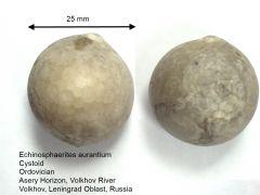 Echinosphaerites