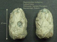 Glyptocystites