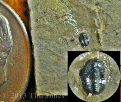 Unidentified Trilobite - Elrathia meraspid?