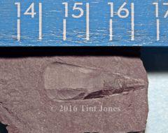 Mid-Devonian Hyolith