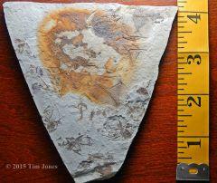 Oligocene Fish Plate.