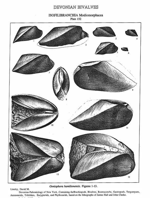 goinophora.jpg