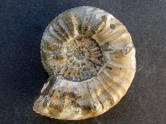 Pleuroceras salebrosum (Hyatt 1867)