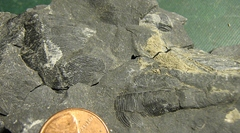 Middle Devonian Conularid from the Marcellus Shale, Madison Co., NY.
