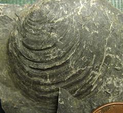 Heterodonta Bivalve from the Marcellus Shale, Madison Co., NY.