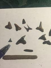 Assortment of Shark Teeth