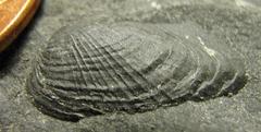 Anomalodesmata Bivalve from Madison Co., NY.