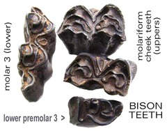 Bison Teeth