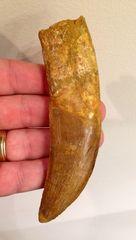 Carcharodontosaurus tooth