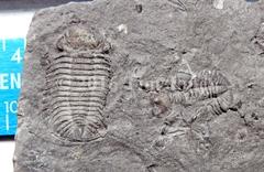 Double Trilobite - needs prep