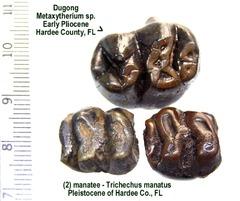 dugong & manatee teeth