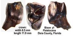 bison premolar