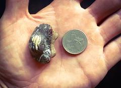 Ptychodus shark tooth(3)