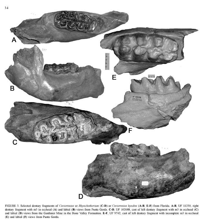 Cuvieronius.jpg
