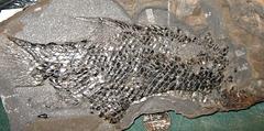 Jurassic Semionotus from Durham, Connecticut