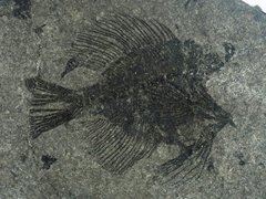 Paucaichthys sp.