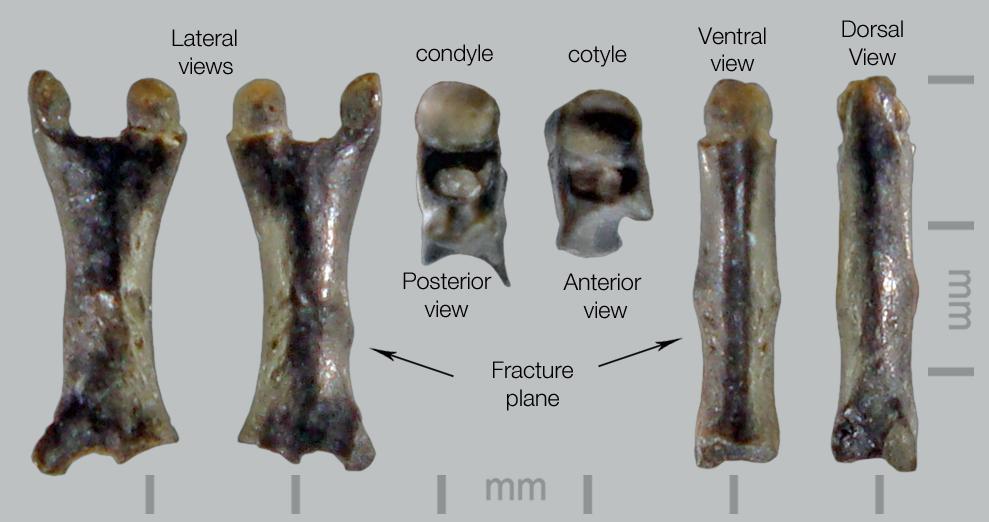 Lizard-Autotomous-caudal-vert-1.jpg