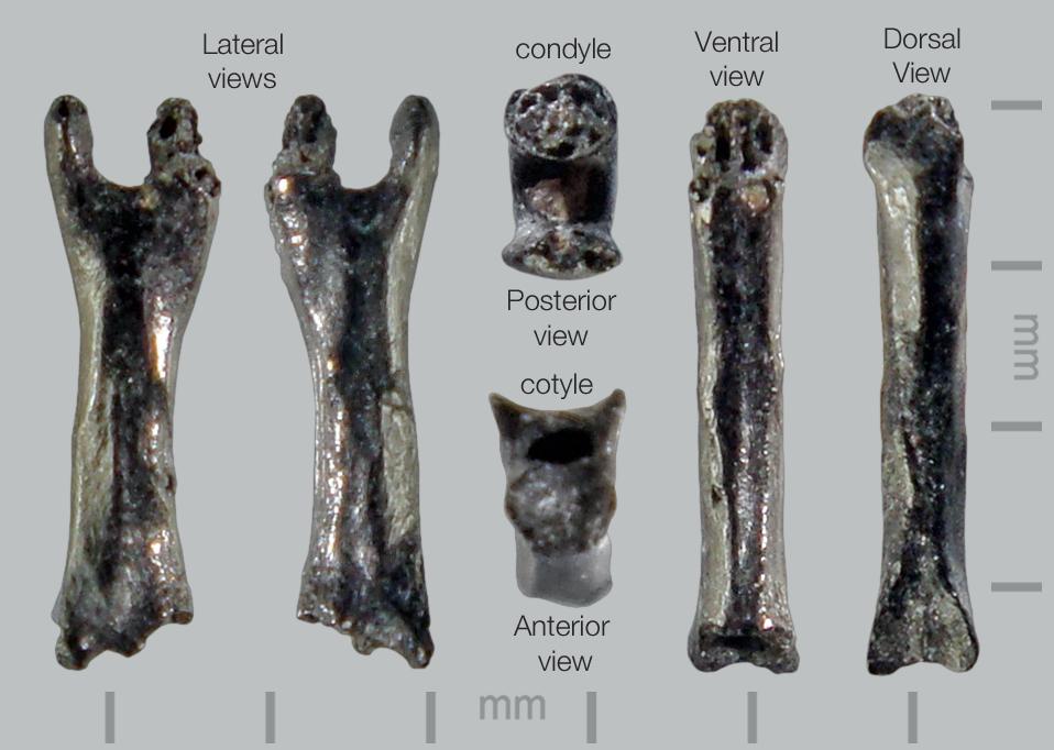 Lizard-Autotomous-caudal-vert-3.jpg