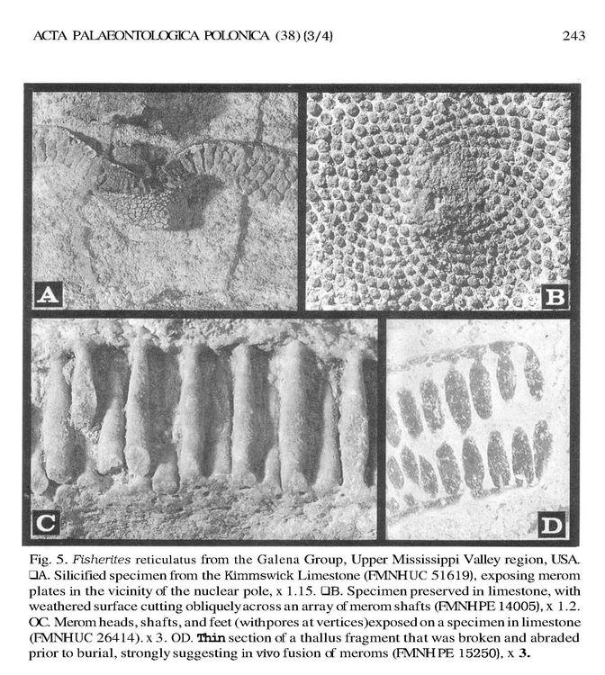 Fisherites reticulatus 1.jpg
