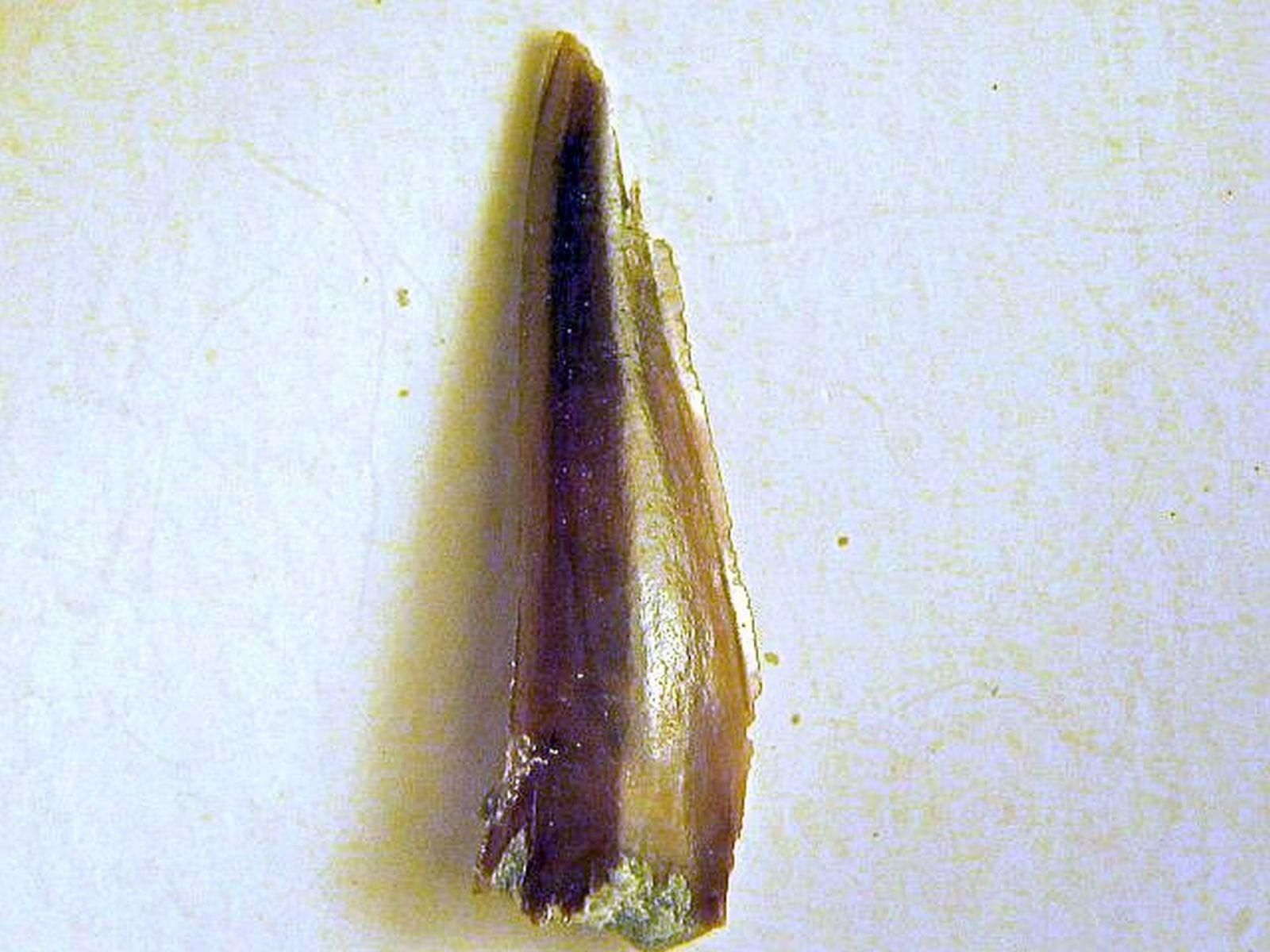 Sphenodus nitidus (Wagner 1862)