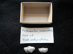 Punctospirifer scabricosta in original matchbox with original label.jpg