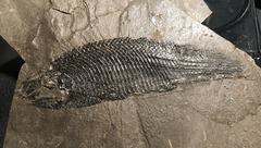 Schizolepis manzanitaensis GOTTFRIED, 1992