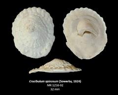 Crucibulum spinosum