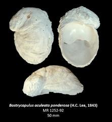 Bostrycapulus aculeata ponderosa
