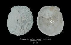 Bostrycapulus aculeata aculeata