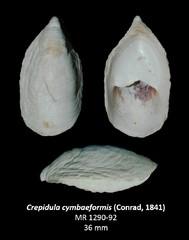 Crepidula cymbaeformis