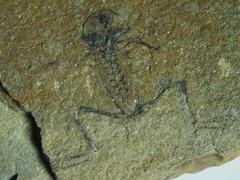 Macropelobates linquensis (YANG, 1977)