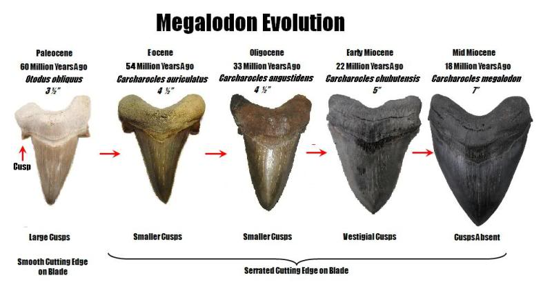 Megalodon evolution? - Questions & Answers - The Fossil Forum
