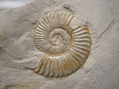 Leptaleoceras accuratum.jpg