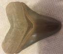 Shark Tooth Hunter