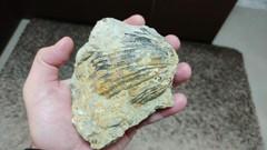 Biggest Cardium I ever found...