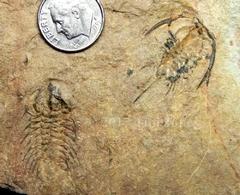 Pioche Shale trilobite plate