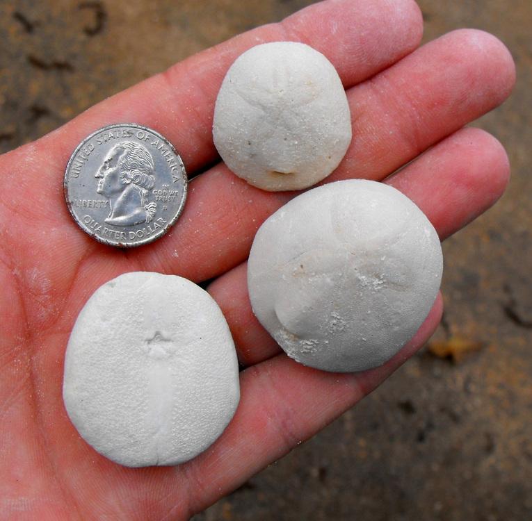 Osl Rhyncholampas gouldi 1b Site 842 022817.JPG