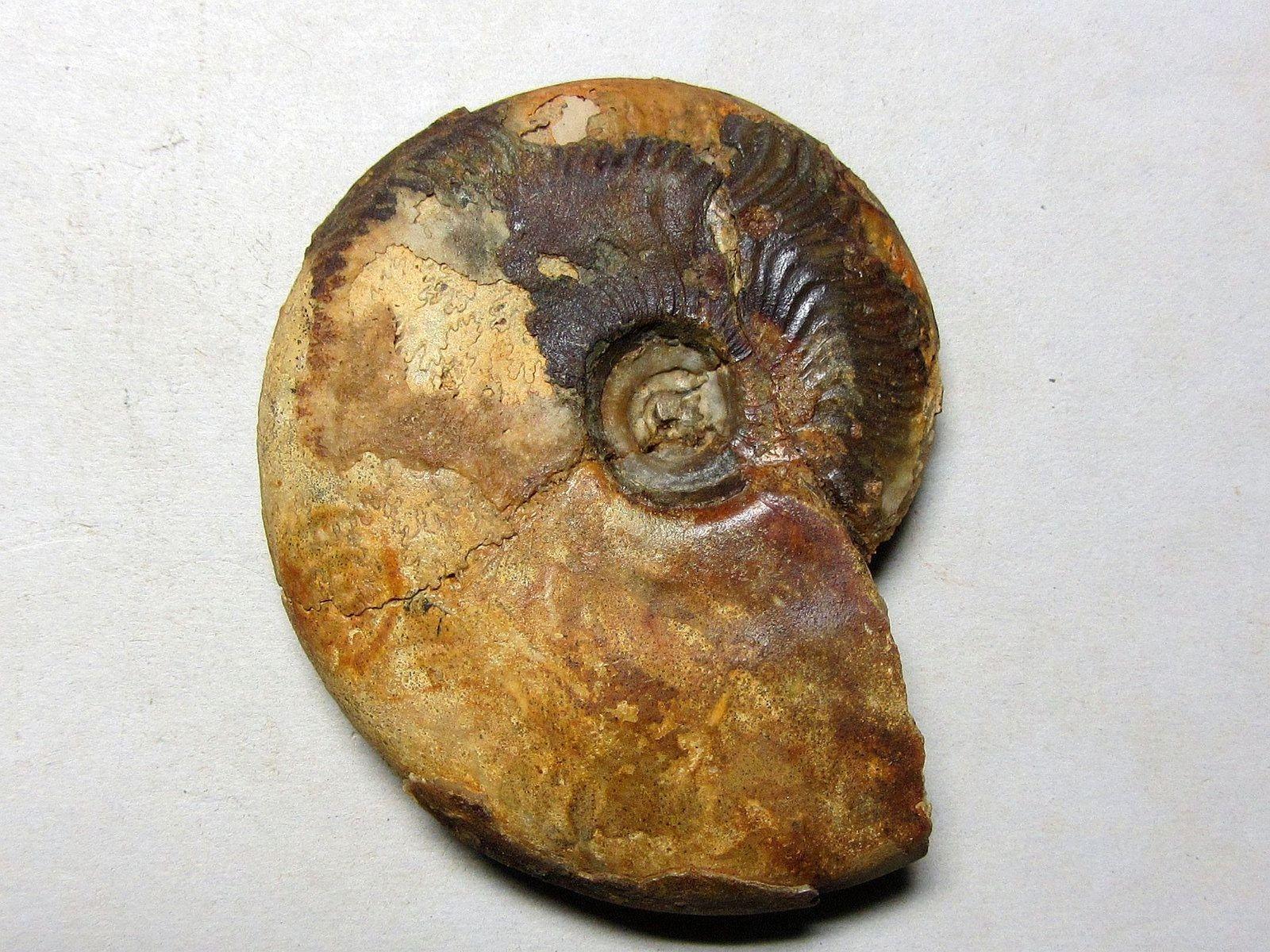 Graphoceras limitatum (Buckman 1902)
