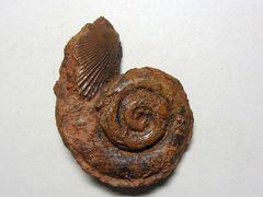 Leptomaria sp. (Eudes-Deslangshamps 1864)