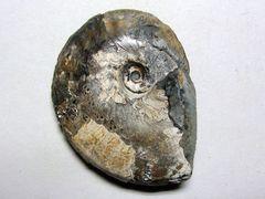 Pseudoschloenbachia umbulazi (Baily 1855)