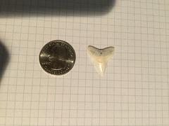 Medium Dusky or Bull Sharks' Tooth (2)