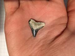 Medium Black Fossilized Bull or Dusky Sharks' tooth (4)