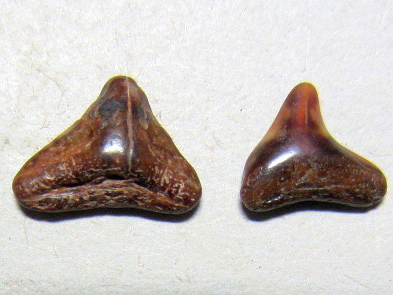 Squatina sp. (Linnaeus 1758)
