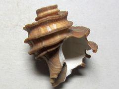 Ecphora gardnerae (Wilson 1987)