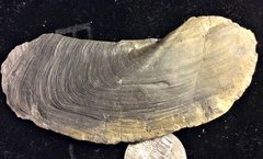 Anomalodesmata Bivalve from Madison County, New York
